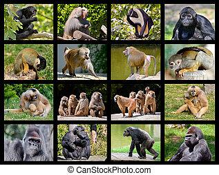 mosaïque, photos, de, singes