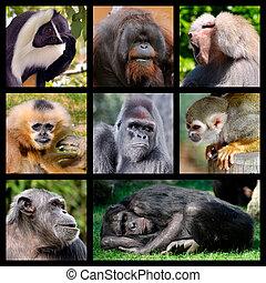 mosaico, fotografias, de, macacos