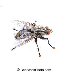 mosca, bianco, sfondo nero