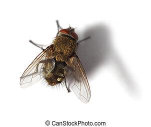 mosca, branca, mosca