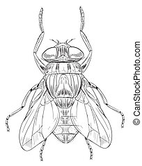 mosca domestica, contorno, comune