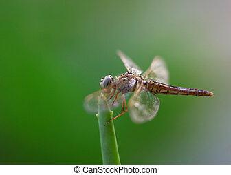 mosca, drago