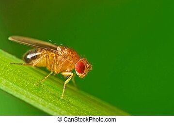 mosca, fruta, pasto o césped, macho, hoja