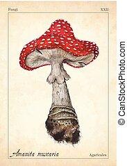 mosca, illustration., hongo, tarjeta, agaric, hongo, libro, ...