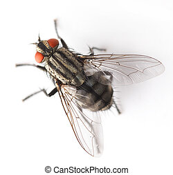 mosca, isolato, bianco
