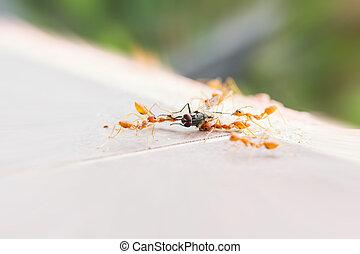 mosca, rodear, hormiga, cadena, alimento, casa, sacrificio, flyhouse, hormigas, equipo, malo, muerto, suerte, o, más flojo, criatura