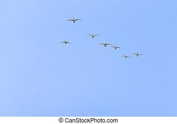 mosca, uccelli, cielo, testa, cigni, gregge