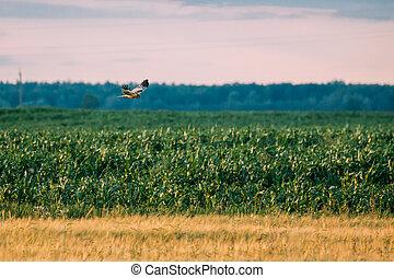 moscas, encima, circo, cyaneus, campo, salvaje, rural,...