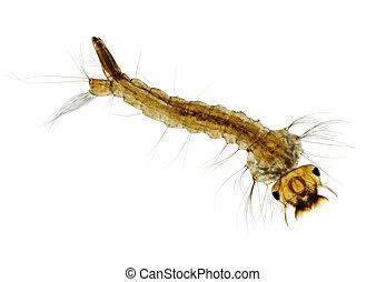 Mosquito (Aedes) larva - Microscopic view of Mosquito...