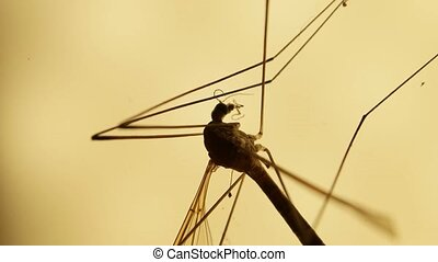 Mosquito Analysis - Macro close up of a mosquito insect in a...