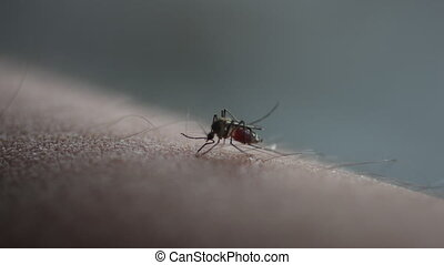 Mosquito bite drinking blood.