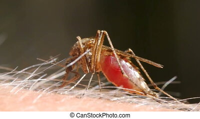 Mosquito blood sucking on human skin - Close-up shot of a...