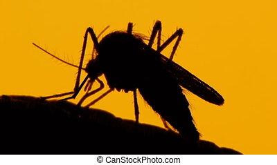 Mosquito blood sucking on human skin on sun background -...