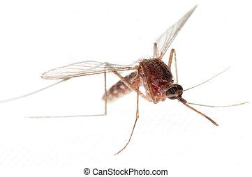 mosquito bug isolated on white