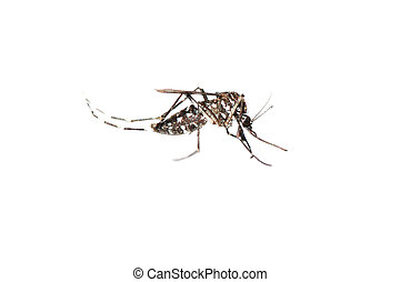 mosquito bug - insect mosquito bug isolated on white...