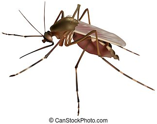 Mosquito (Culex sp.) - High detailed illustration