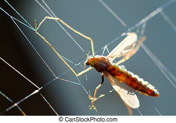 mosquito in web