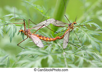 mosquito insects mating on green plant, take photos in the...