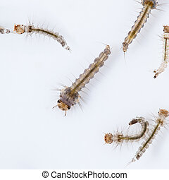mosquito larva contagion Zika Virus and Dengue