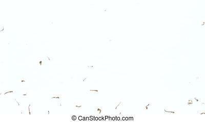 Mosquito larva while swimming