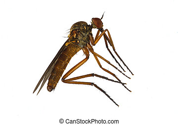 Mosquito on a white background