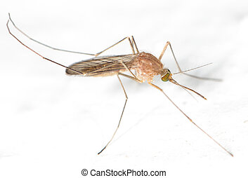 mosquito on the white wall. close-up