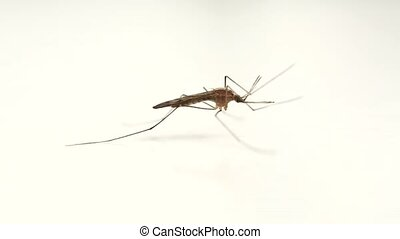 Mosquito on white surface