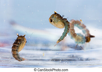 Mosquito pupae and larva - Close up Mosquito pupae and larva...