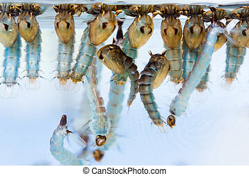 Mosquito pupae and larvae - Close up mosquito pupae and ...