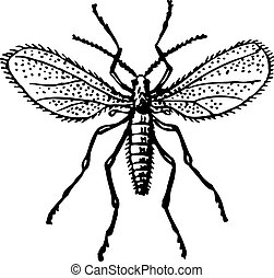 Mosquito with spreading wings on white background
