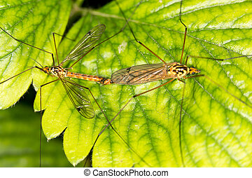 Mosquitoes make love