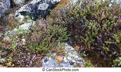 mosquitoes spinning, black crowberry and lichen parmelia in...