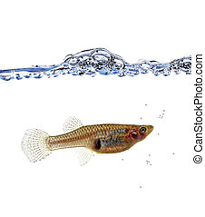 Mosquitofish portrait - fine close up image of Mosquitofish ...