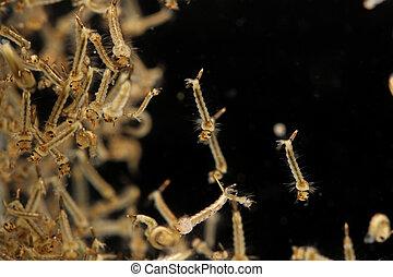 mosquito's, larva, water.