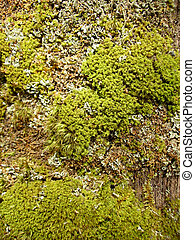 Moss a sphagnum in spring wood