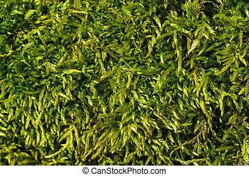 Moss background (close-up)