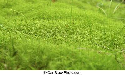 Moss Background Texture. Green moss texture background....