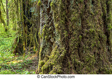 Moss Blanketed Trees In Oregon Forest