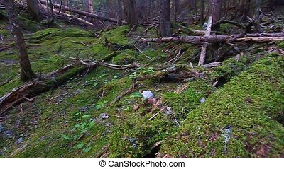 Moss Covered Forest Montana - View of a lush moss covered...