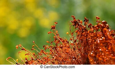 Moss dance movement after rain drops - Common brown haircap...