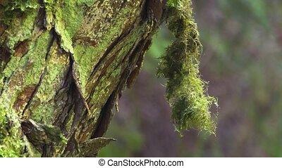 Moss Hangs from Tree Bark in Ukrainian Carpathian Mountains...