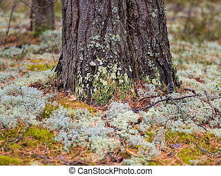 Moss in the Northern forest. The pine trunk is overgrown with moss.
