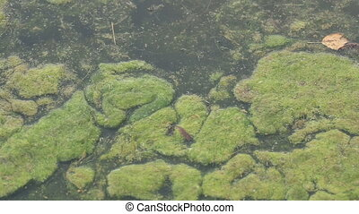 Moss in water. Dirty pond