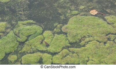Moss in water