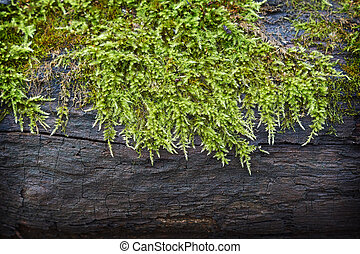 Moss on a dry tree in the forest .