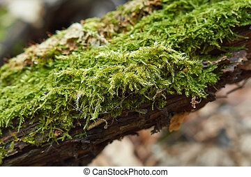 Moss on a dry tree in the spring fo
