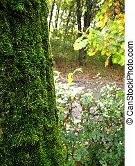 Moss on an oak