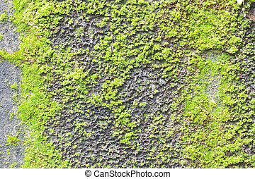 Moss on old concrete wall texture background.