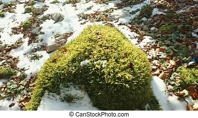 Moss on stump in the forest under the snow