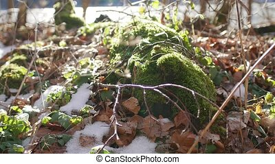Moss on stump in the forest under the snow.